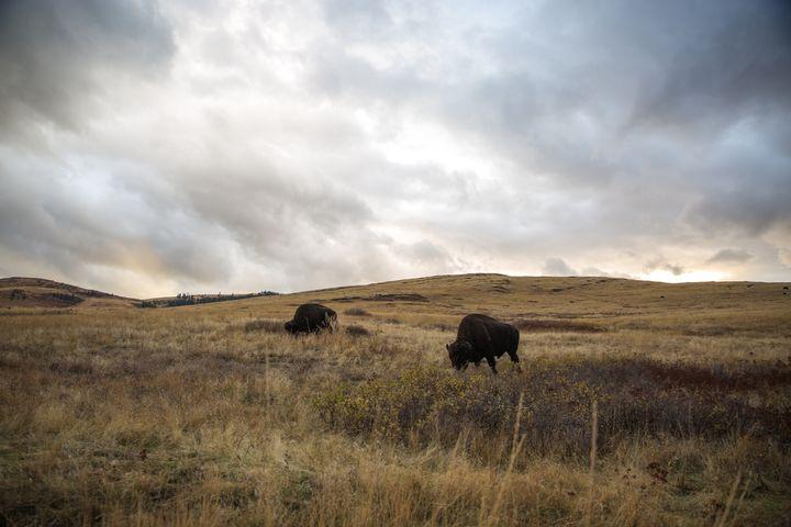 Buffalos - Maivab Adventures