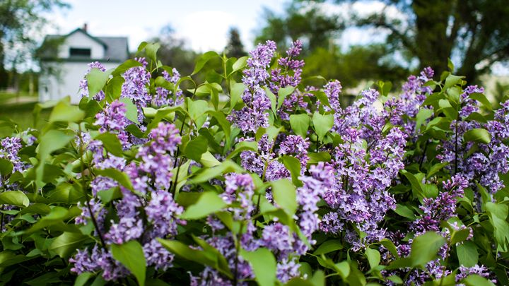 Country Lilacs - Northwind Apothecary