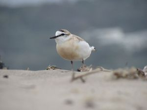 Plover on the beach