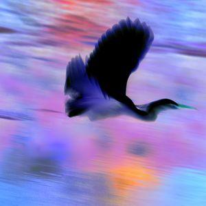 Aigrette noire