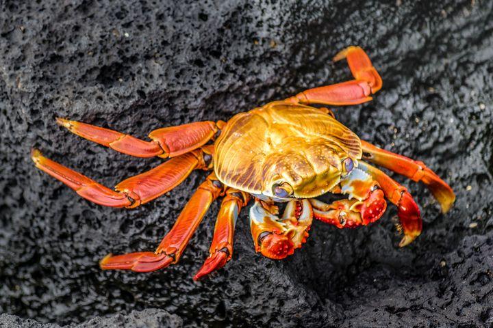 Colored Crab at Galapagos Island - Photography