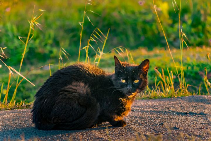 Adult Black Cat with Attentive Expre - Photography
