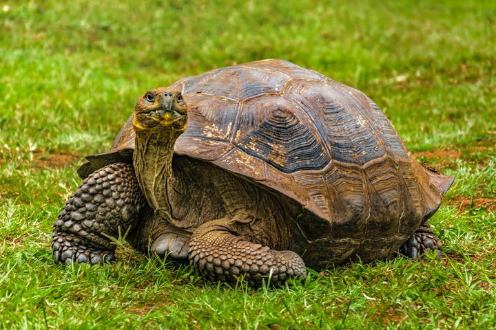 Galapagos Giant Turtle, Ecuador - Photography