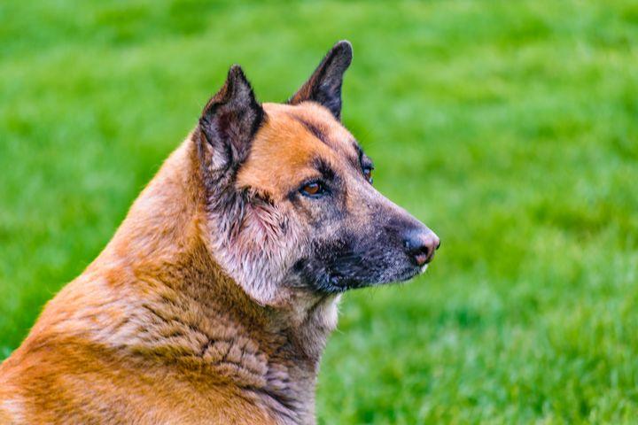 German Shepherd Side View Portrait - Photography