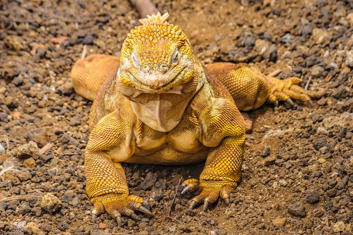 Yellow Iguana at Ground Floor - Photography
