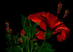 High Contrast Hibiscus Flower Photo