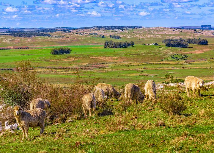 Sheeps at Countryside, Maldonado, Ur - Photography