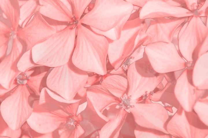 Coral Colored Hortensias - Photography