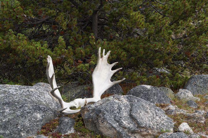 Moose Antlers - Julie McDaniel Fine Art