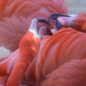 Dos Flamingos