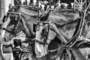 Silver Clydesdales