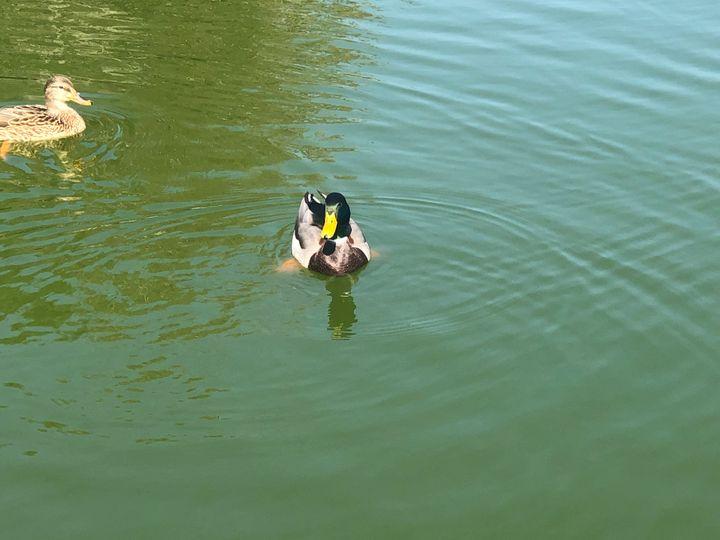 Swimming duck 3 - Fine Art and Crochet