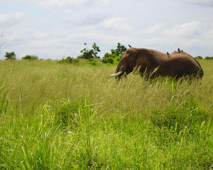 African elephant - Lauren Hidalgo