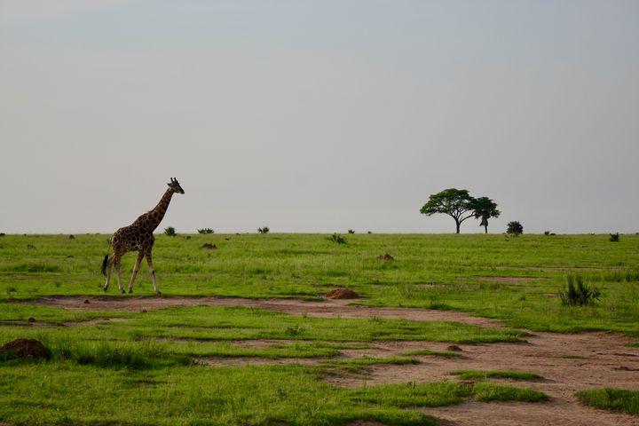 Wild Giraffe - Lauren Hidalgo