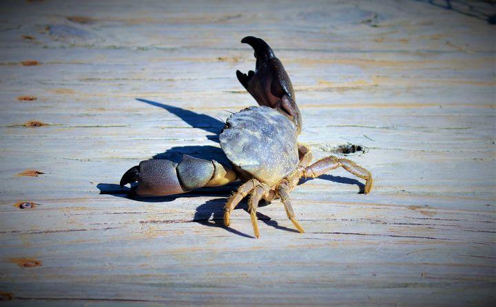 Stone Crab - beSTOWEd photography