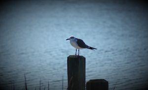 Seagull Sally