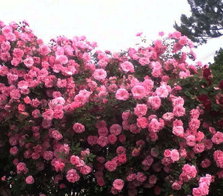 Rose Load - Shabsz Creations