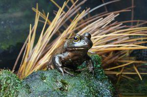 Frog at Monterey