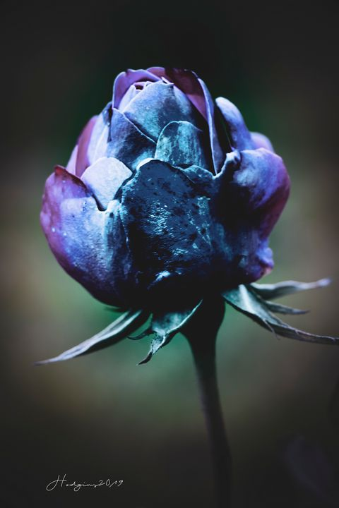 Magical Rose - Des Hodgins Photography