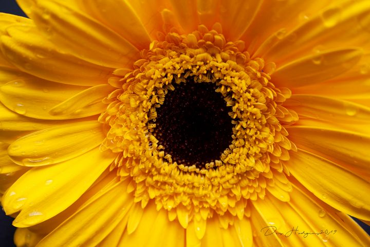 Morning Sunflower - Des Hodgins Photography
