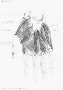 Anatomical study of a hand