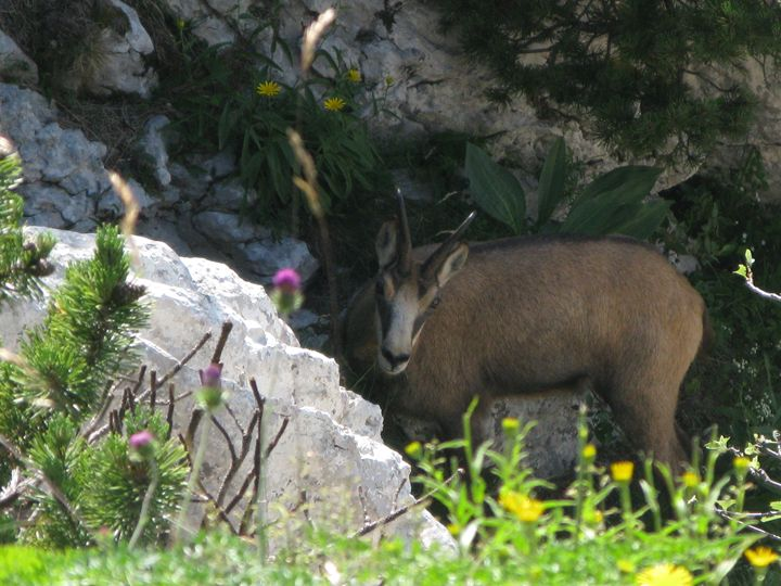 Curious chamois - walkwithloveart