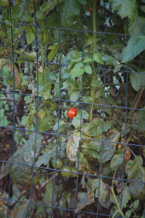 Lone Tomato - Photography