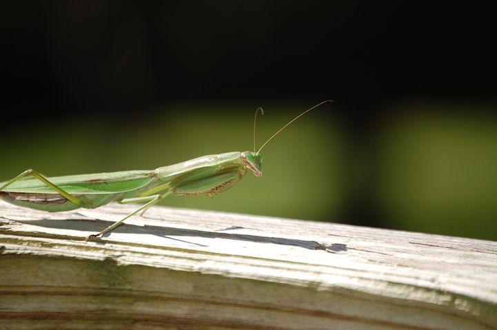 Praying Mantis - Photography