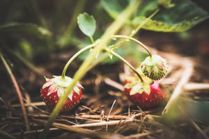 Strawberry Season 2
