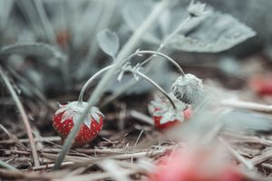 Strawberry Season 1