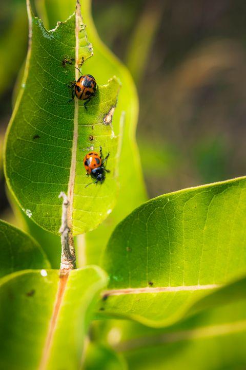 Ladybugs' lunch time - Drakelis Photography