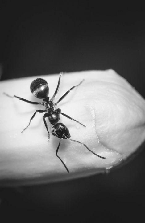 Bac the Ant - Drakelis Photography
