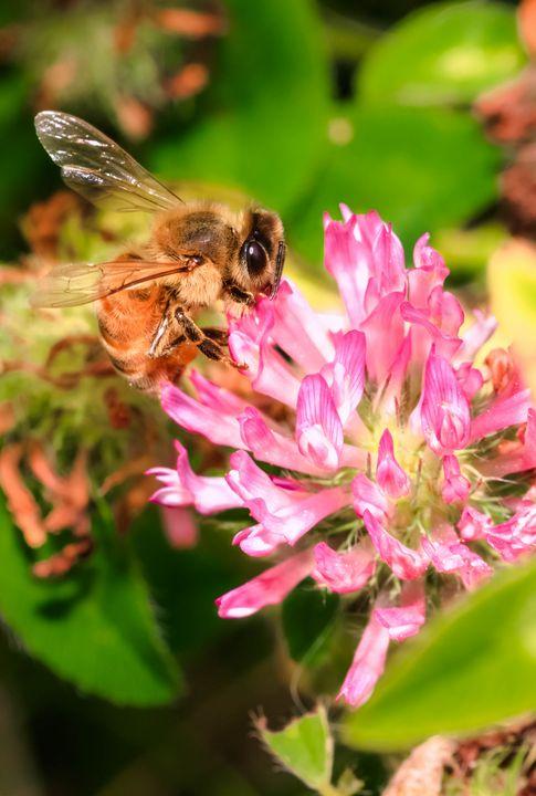 Bac - Bee Season - Drakelis Photography