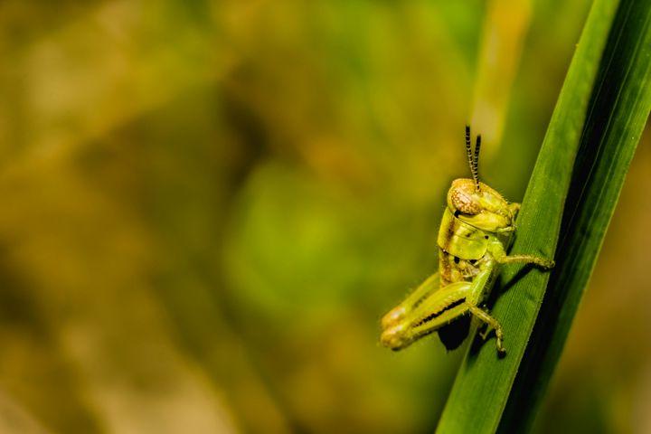Grasshopper Season #2 - Drakelis Photography