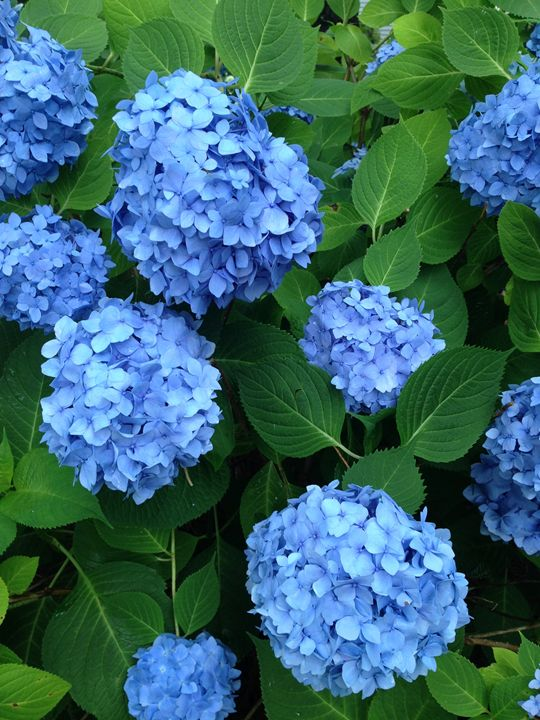 Hydrangea - Peachtree Marketing International