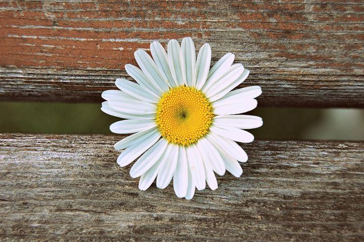Daisy - Skala