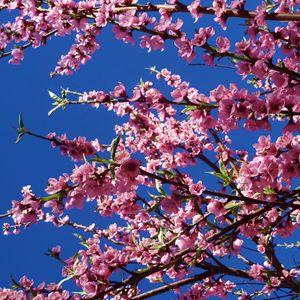 Peach tree #1