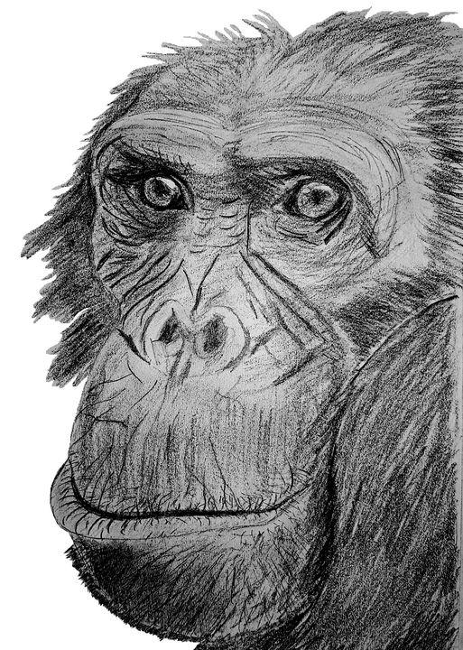 chimpanzee face pencil sketch - Chris Animal Art