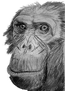 chimpanzee face pencil sketch
