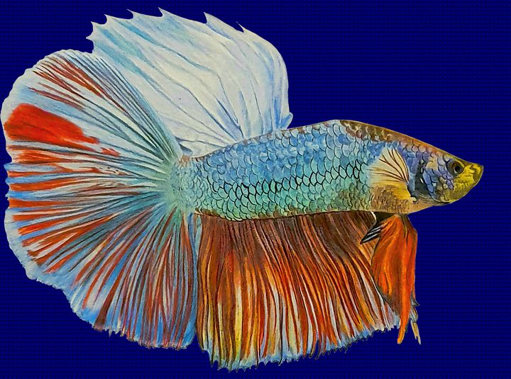 Siamese fighting fish (betta splende - Chris Animal Art