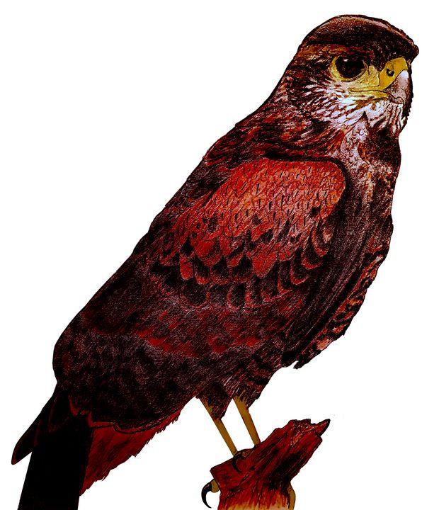 Harris Hawk On Perch - Chris Animal Art