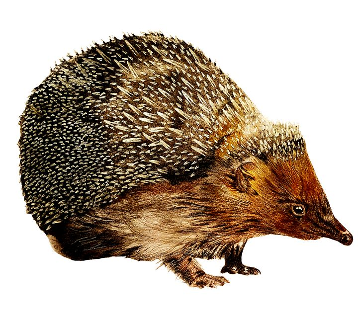 The Friendly Garden Hedgehog - Chris Animal Art