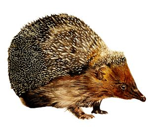The Friendly Garden Hedgehog