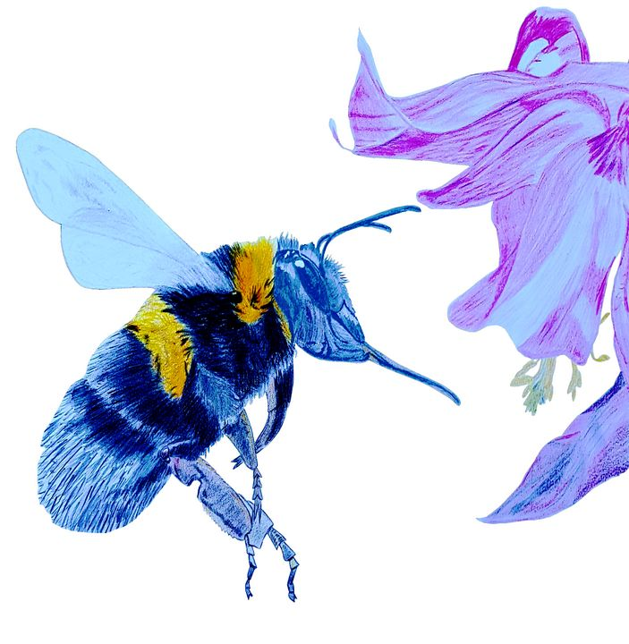 White Tailed Bumble Bee At Flower - Chris Animal Art