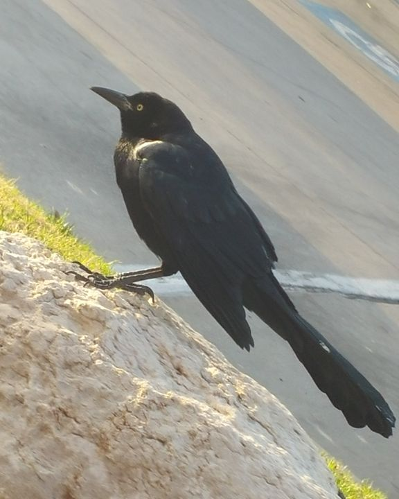 Black Crow - APONI LUNA