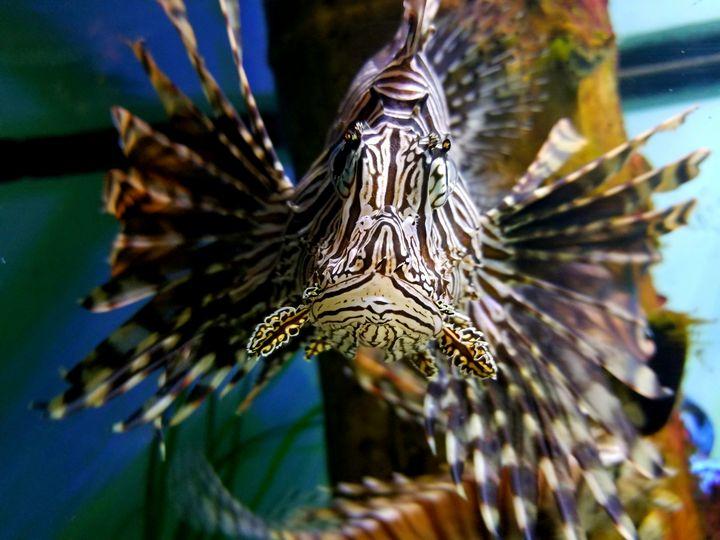 The Lionfish - LaMaccPhotography