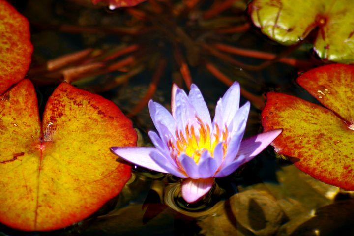Purple Water Lily - LaMaccPhotography