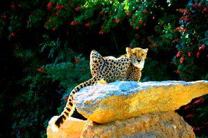 Cheetah sunbathing on a rock