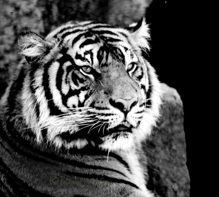 Beautiful Tiger - LaMaccPhotography