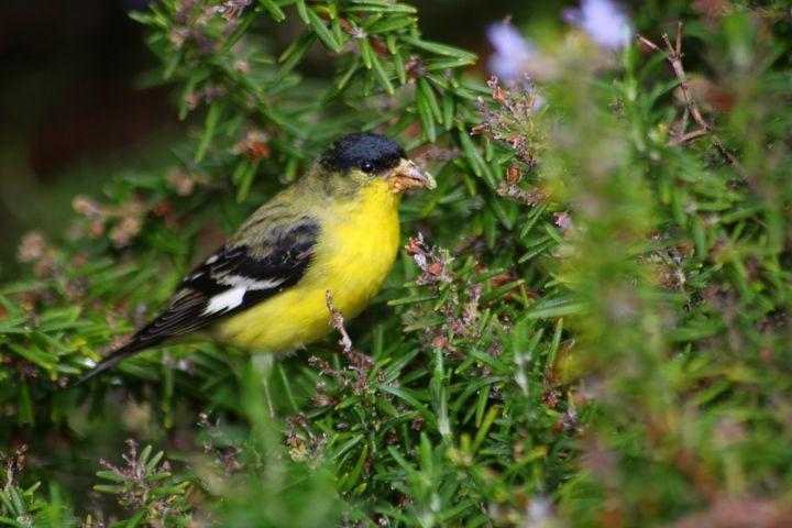 An American Goldfinch - LaMaccPhotography